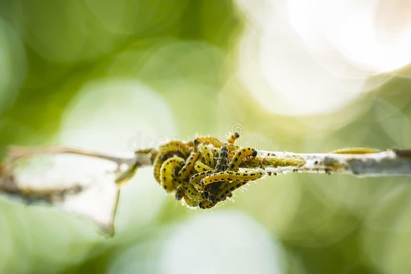Las orugas de las larvas del par?sito de las polillas de la familia o del armi?o de Yponomeutidae, formaron las web comunales alr foto de archivo