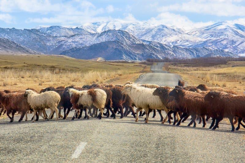 Las ovejas cruzan el camino imagenes de archivo