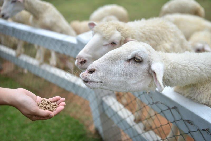 Las ovejas de alimentación por las mujeres jovenes dan imágenes de archivo libres de regalías