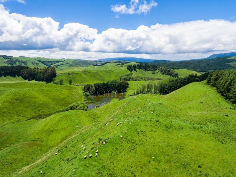 Las ovejas de la visión aérea cultivan la colina, Rotorua, Nueva Zelanda imagen de archivo libre de regalías