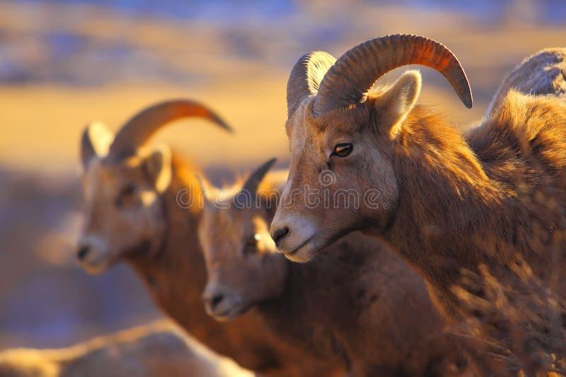 Las ovejas de montaña se cierran para arriba imagen de archivo libre de regalías