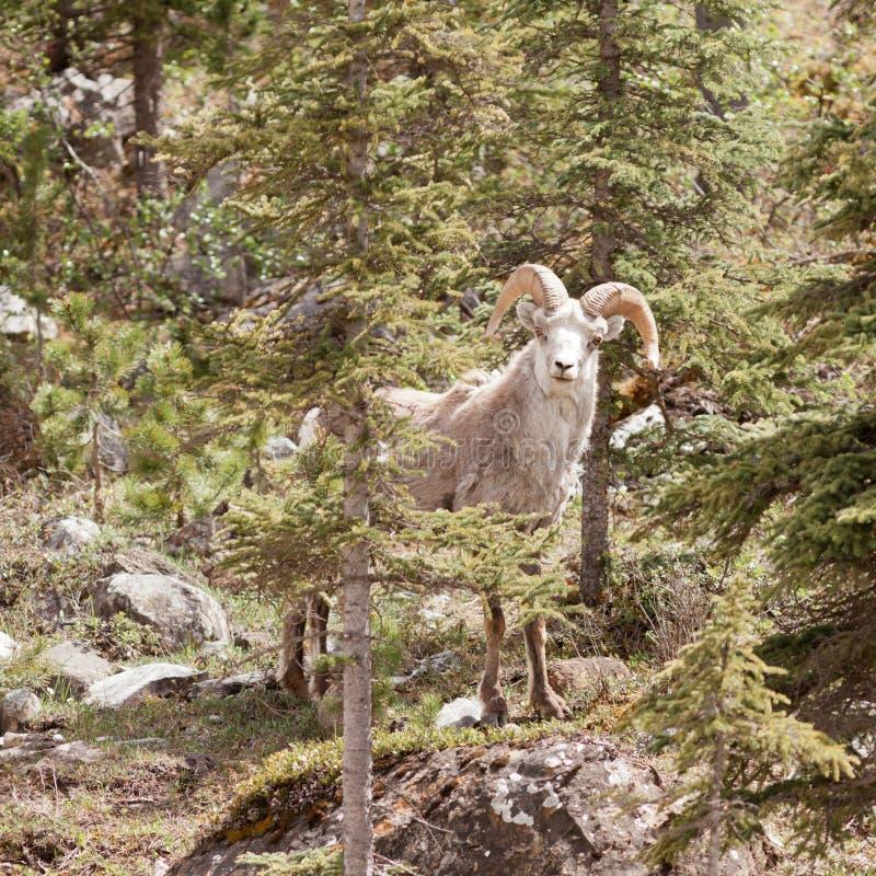 Las ovejas de piedra pegan el bosque de la montaña del stonei del dalli del Ovis imagen de archivo