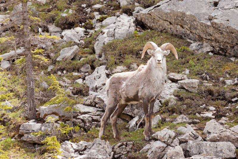 Las ovejas de piedra pegan fauna del canadiense del stonei del dalli del Ovis imagenes de archivo