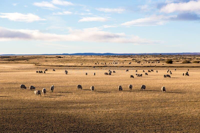 Las ovejas disfrutan del campo en Patagonia en Chile fotos de archivo libres de regalías