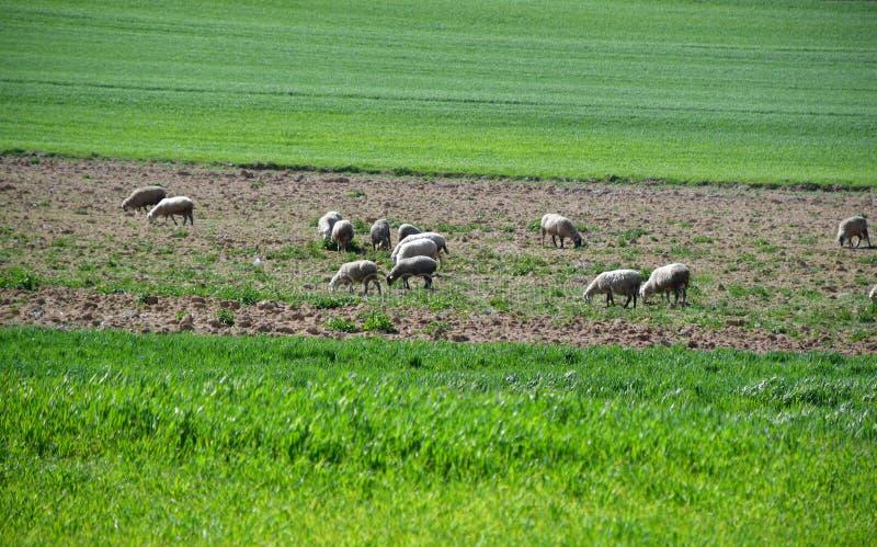 Las ovejas en el campo están pastoreando imagen de archivo