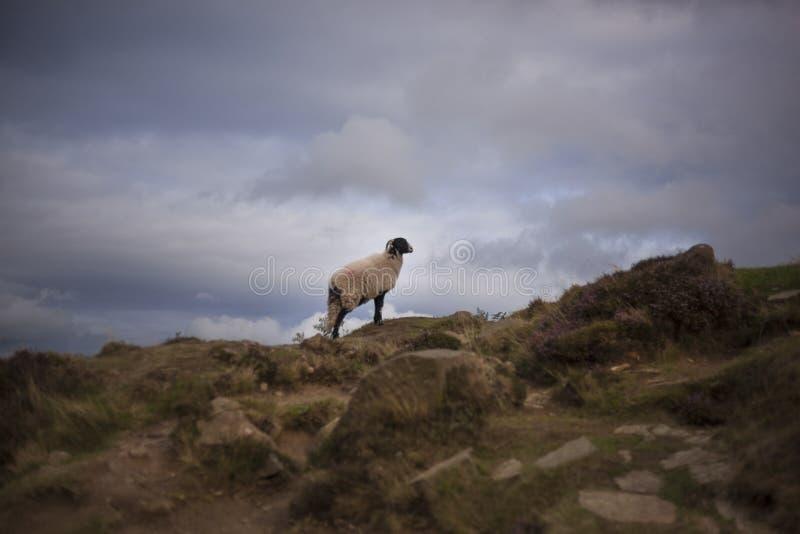 Las ovejas en Ilkley amarran fotografía de archivo libre de regalías