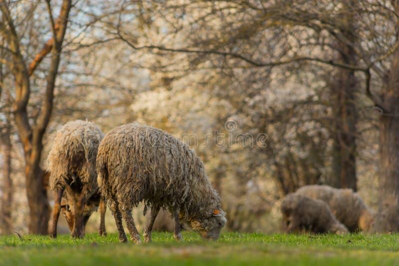 Las ovejas hermosas del primer pastan en hierba verde del prado y del mordisco en pasto el d?a soleado imagen de archivo