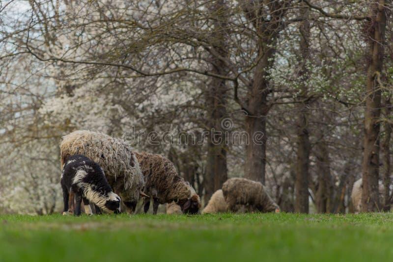 Las ovejas hermosas del primer pastan en hierba verde del prado y del mordisco en pasto el d?a soleado imagen de archivo libre de regalías