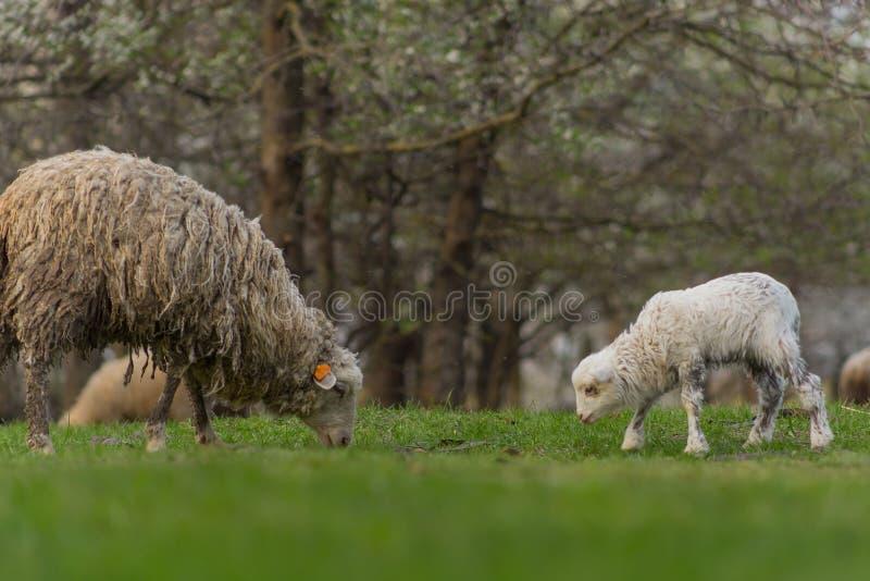 Las ovejas hermosas del primer pastan en hierba verde del prado y del mordisco en pasto el d?a soleado imágenes de archivo libres de regalías