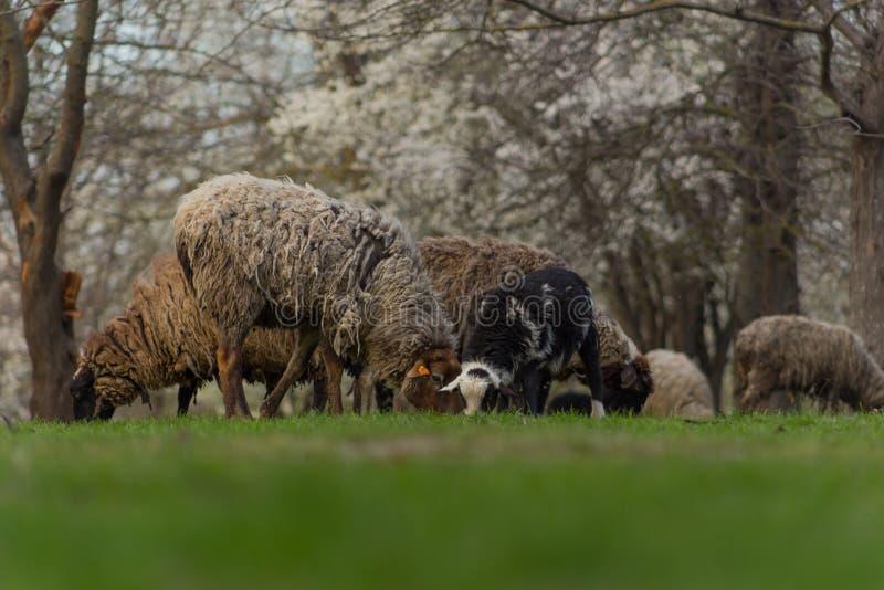 Las ovejas hermosas del primer pastan en hierba verde del prado y del mordisco en pasto el d?a soleado imagenes de archivo