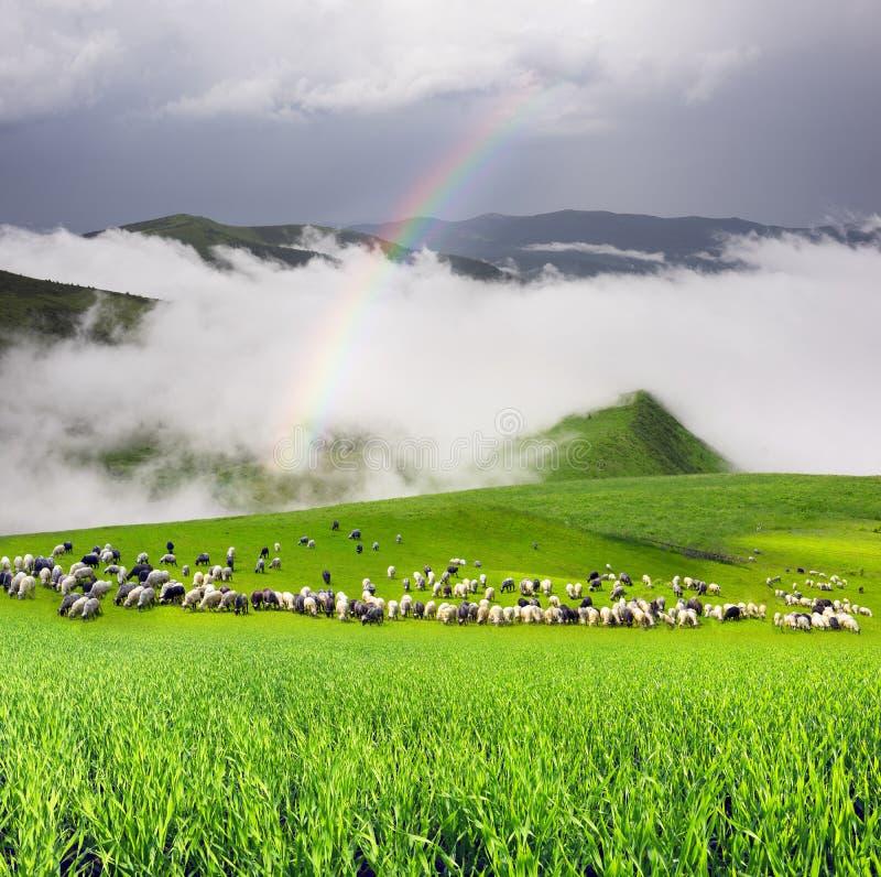 Las ovejas, manada pastan en el prado imagen de archivo libre de regalías