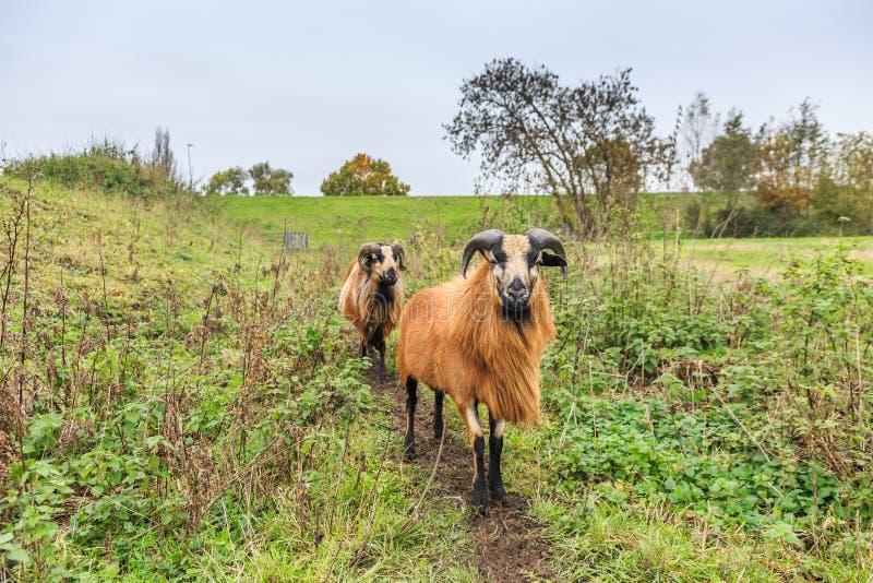 Las ovejas masculinas y femeninas del Camerún en pastos ajardinan imagenes de archivo
