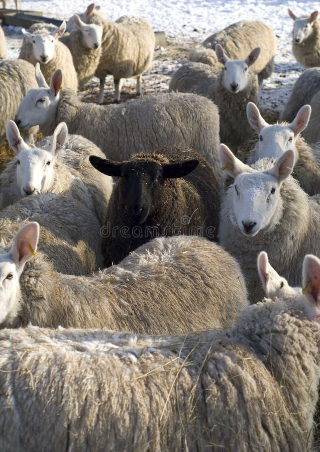 Las ovejas negras de la multitud. imagen de archivo libre de regalías