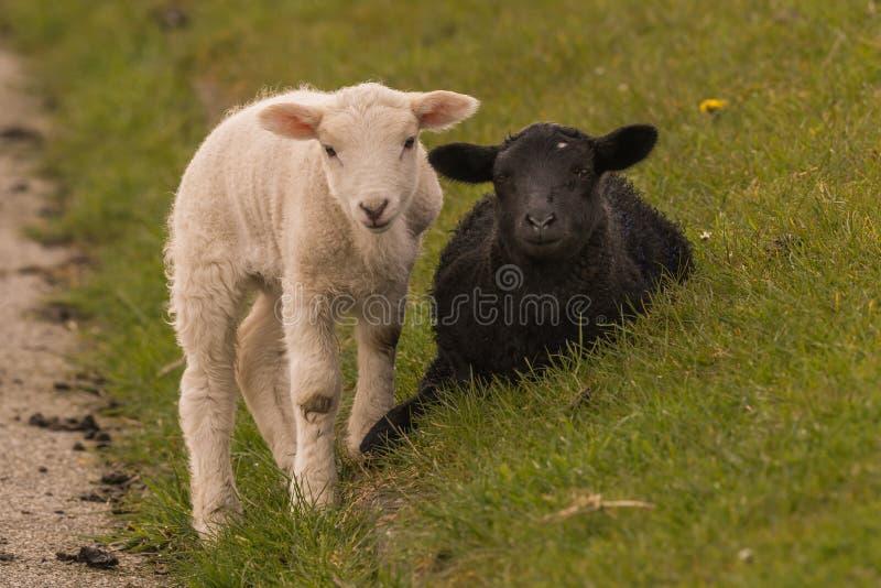 Las ovejas pastan en el dique fotografía de archivo libre de regalías