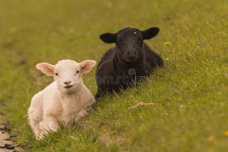 Las ovejas pastan en el dique imagen de archivo