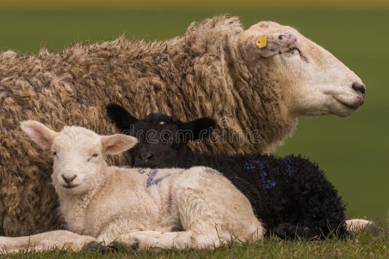 Las ovejas pastan en el dique imagenes de archivo