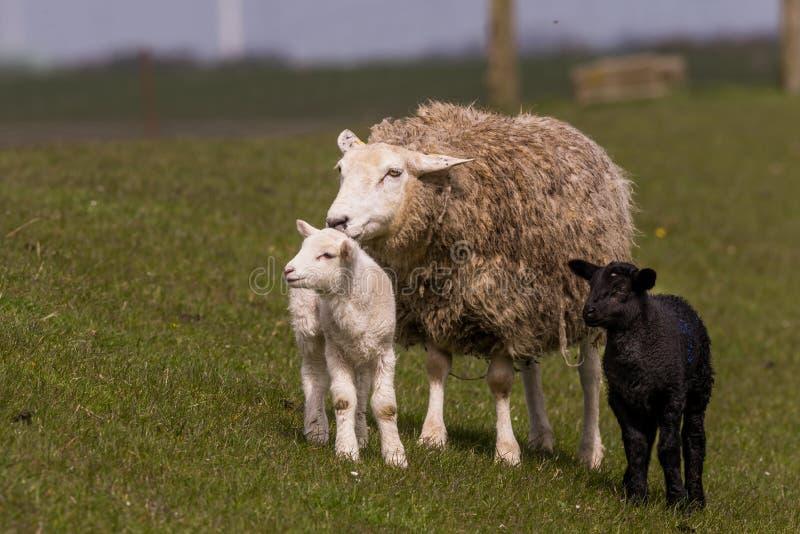 Las ovejas pastan en el dique foto de archivo libre de regalías