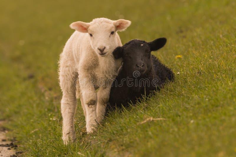 Las ovejas pastan en el dique fotografía de archivo