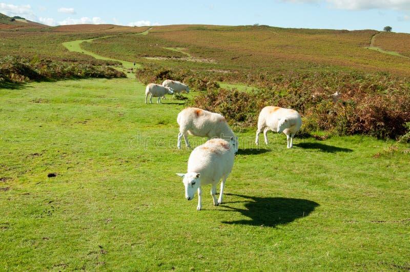 Las ovejas que pastan en el otoño ajardinan en las montañas de los faros de Brecon en el campo británico foto de archivo