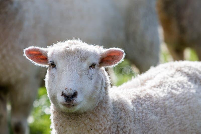 Las ovejas se cierran para arriba fotos de archivo