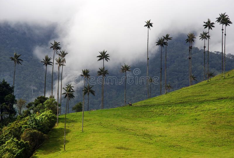Las palmeras de la cera del valle de Cocora son el árbol nacional, el símbolo de Colombia y la palma más grande de World's fotos de archivo