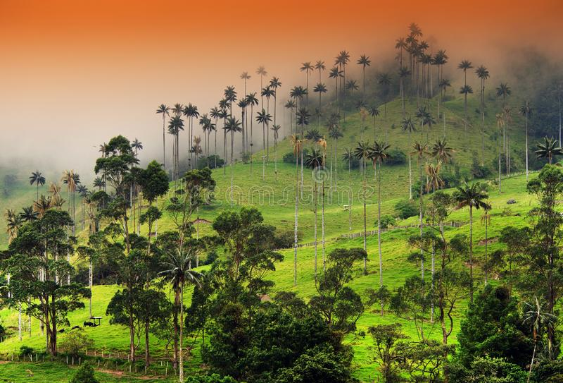 Las palmeras de la cera del valle de Cocora son el árbol nacional, el símbolo de Colombia y la palma más grande de World's fotografía de archivo