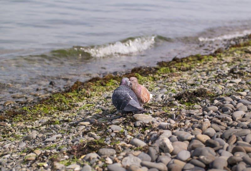 Las palomas azules y marrones se besan con sus ojos cerrados en la costa foto de archivo