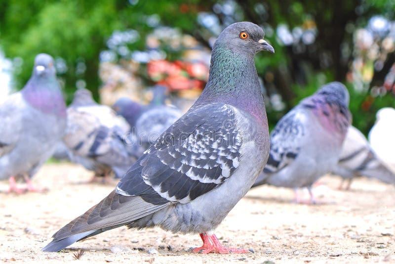 Las palomas de las palomas comen el pedazo de pan en la tierra, cierre para arriba foto de archivo