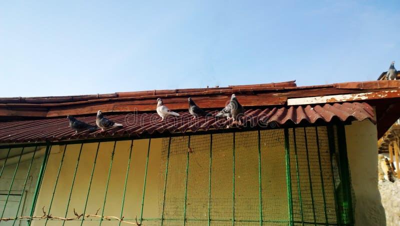 Las palomas divertidas que se sientan en el tejado brillante y toman el sol imagen de archivo libre de regalías