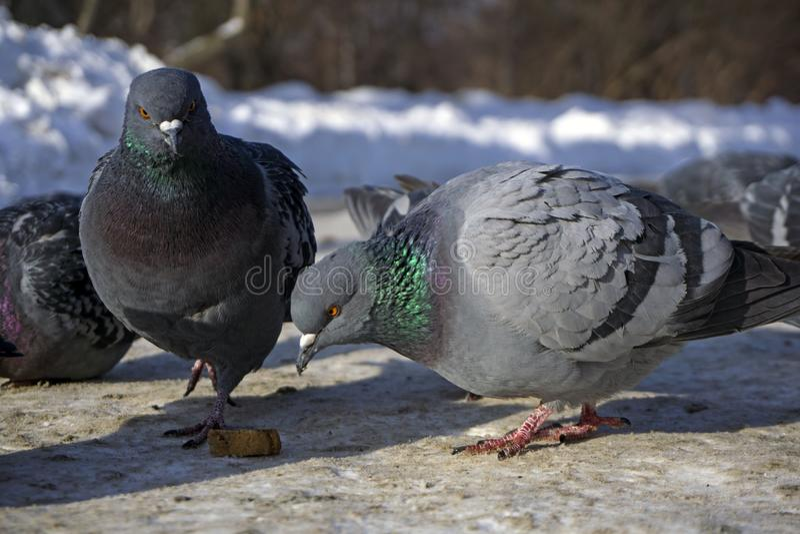 Las palomas en el invierno en la ciudad parquean fotografía de archivo libre de regalías