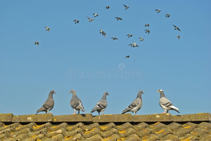 Las palomas jovenes miran palomas del vuelo imagenes de archivo