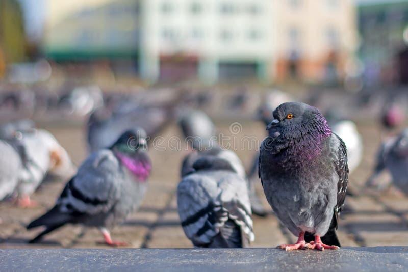 Las palomas toman el sol en la plaza debajo del sol en último otoño fotografía de archivo