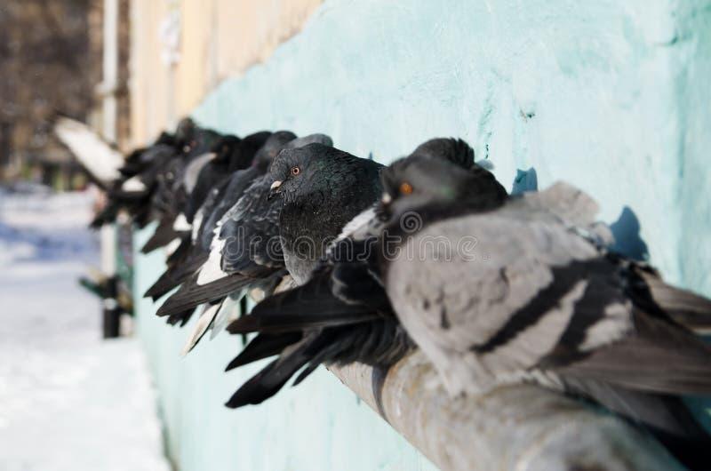 Las palomas toman el sol en el sol en la sentada del día soleado del invierno en el tubo que va a lo largo de la casa Foco select imagen de archivo