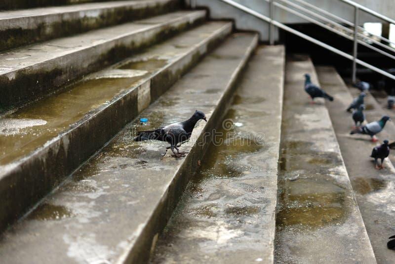 Las palomas y las palomas constituyen el Columbidae de la familia de pájaro y fotografía de archivo libre de regalías