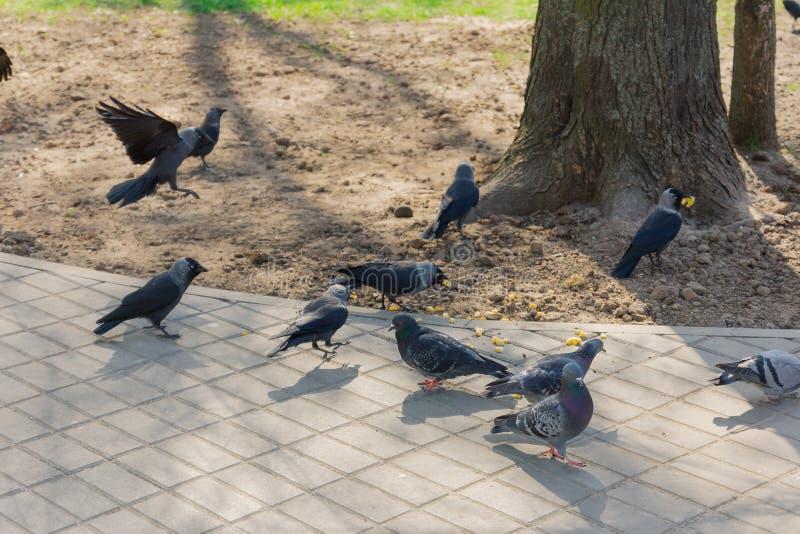 Las palomas y los cuervos comen granos en la tierra imagen de archivo libre de regalías