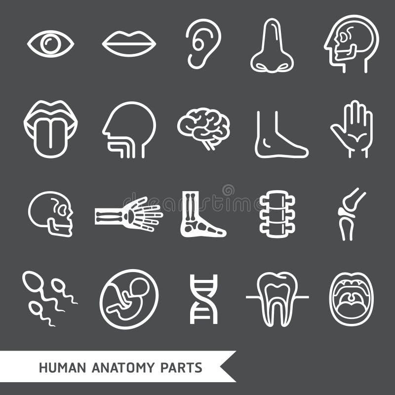 Las partes del cuerpo humanas de la anatomía detallaron los iconos fijados libre illustration