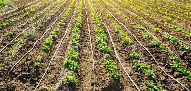 Las patatas jovenes que crecen en el campo est?n conectadas con la irrigaci?n por goteo Arado del campo Plantaciones rurales Cult fotos de archivo