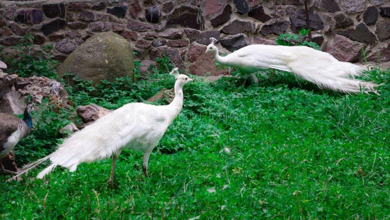 Las pavas reales blancas como la nieve de los peafowls de los pájaros con las coronas caminan en gras verdes fotos de archivo libres de regalías