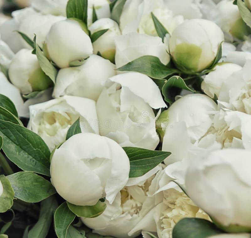 Las peonías blancas florecen los brotes Primer Foco suave selectivo foto de archivo libre de regalías