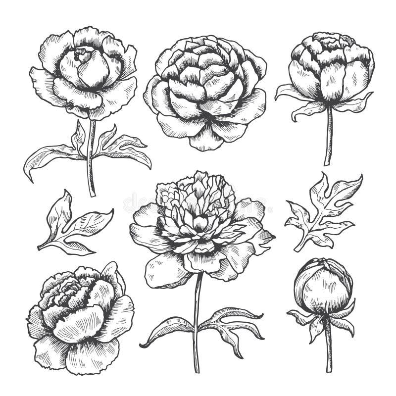Las peonías dan dibujado El bosquejo floral del jardín de flores florecen y la colección del vector de las hojas de peonías libre illustration