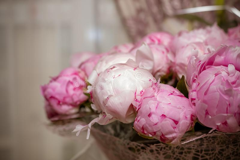 Las peonías florecientes brillantes frescas florecen con descensos de rocío en los pétalos brote blanco y rosado Rosas de la peon fotos de archivo