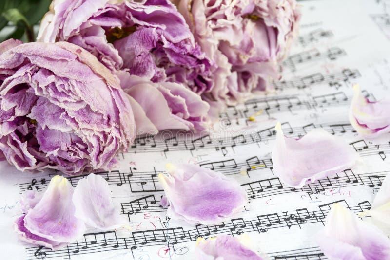 Las peonías rosadas marchitadas están en las notas musicales con varios pétalos imágenes de archivo libres de regalías