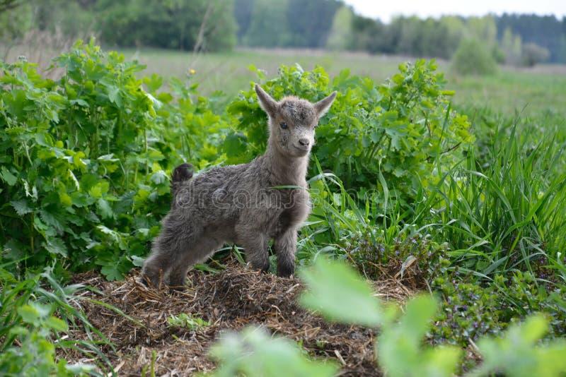 Las pequeñas cabras pastan fotografía de archivo libre de regalías