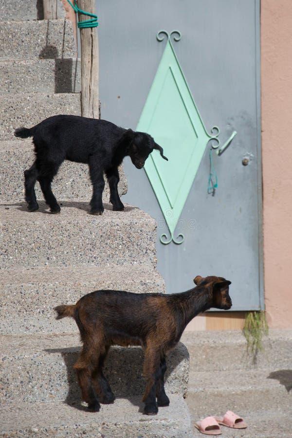 Las pequeñas cabras urbanas esperan fuera de una puerta fotografía de archivo libre de regalías