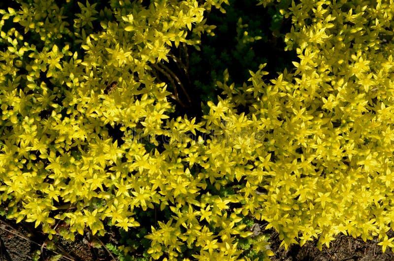 Las pequeñas flores amarillas brillantes del sedum crecen en inflorescencias masivas fotografía de archivo