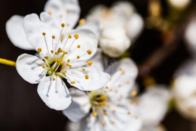 Las pequeñas flores blancas se cierran encima de Spirea Vanhouttei imagen de archivo