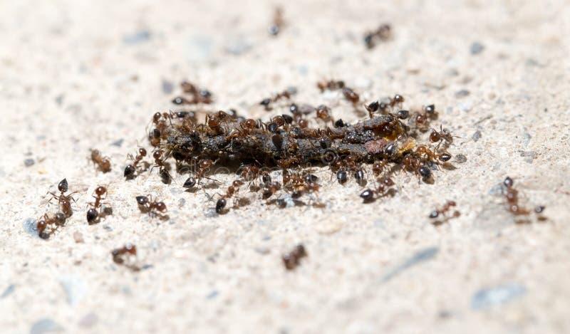 Las pequeñas hormigas comen el gusano Macro imagen de archivo libre de regalías