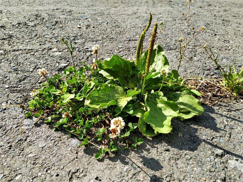 Las pequeños plantas y llantén crecieron a través de una grieta en el asfalto gris Día de verano soleado y seco fotos de archivo libres de regalías