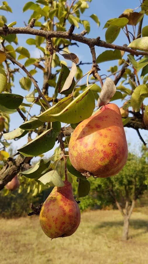 Las peras maduras hermosas están colgando en ramas de árbol fotos de archivo libres de regalías