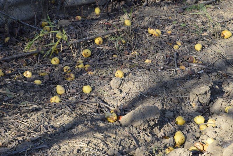 Las peras maduras mienten en la tierra debajo de un árbol fotografía de archivo